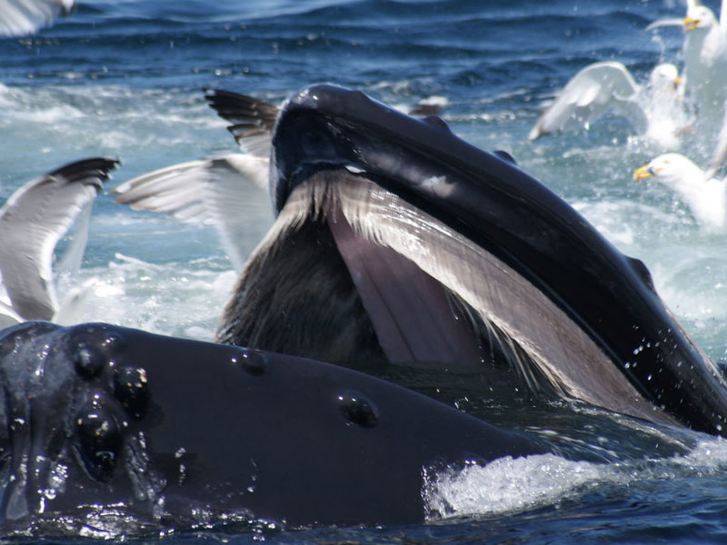 Humpback whale unable to stop herself from eating delicious, delicious plastic bags