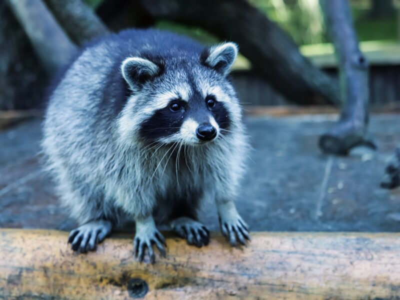 Study finds 1 million species face extinction but raccoon that took over your balcony is going to be fine
